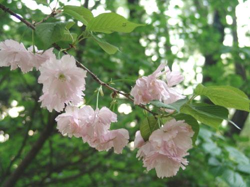 石家庄日本樱花