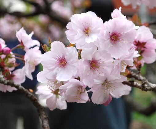 石家庄日本樱花|日本樱花价格